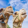 Camel couple — Stock Photo