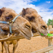 Stock Photo: Couple of Camels feeding