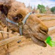Feeding a camel — Stock Photo