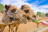 Couple of Camels feeding — Stock Photo