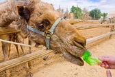 Feeding a camel — Stock Photo