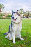 Large Alaskan Malamute on the lawn — Stok fotoğraf