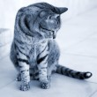 Silver striped cat — Stock Photo #26148381