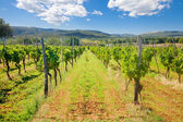 Green Vineyard under Blue Sky — Стоковое фото