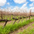 Single row in a vineyard — Foto Stock