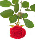 Bright red rose isolated — Stock Photo