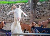 Alimentare caccia capra bianca — Foto Stock