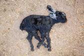 Ölü goatling — Stok fotoğraf