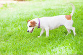 Small dog sniffing lawn — Stock Photo
