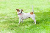 Dog looking back on alert — Stock Photo