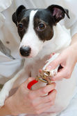 Close up view of jack russell terrier manicure — Stock Photo