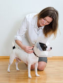 Veterinarian put protective cone to jack russel terrier — Stock Photo