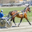 Harness racing. Racing horse harnessed to lightweight strollers. - Stock Photo