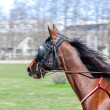 Harness racing. Racing horse in motion — стоковое фото #25657289