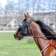 Stock Photo: Harness racing. Racing horse in motion