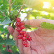 Female hand picking up redcurrant — Stock Photo #28712459