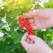 Female hand picking up redcurrant — Stock Photo #28712463