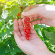 Female hand picking up redcurrant — Stock Photo