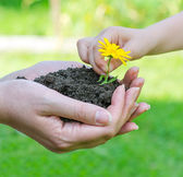 Child hands putting flower into soil in female hands — Stock Photo