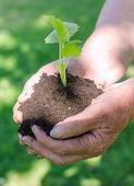 Mani femminili anziani tenendo il terreno con verde germoglio — Foto Stock