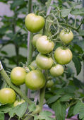 Bunch of green tomatos on a branch — Stock Photo