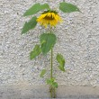 Stok fotoğraf: Forces of nature. Sunflower growing through stone