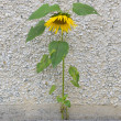 Forces of nature. Sunflower growing through the stone — Stok fotoğraf