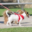 Stock Photo: Two small dogs on leash.