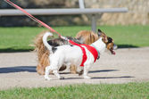Two small dogs on a leash. — Stock Photo