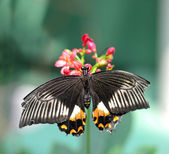 Black butterfly with orange and white markings — Stock Photo