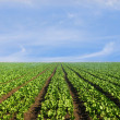Lush agricultural field of lettuce — Stock Photo #33168549