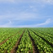 Stock Photo: Lush agricultural field of lettuce