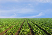 Lush agricultural field of lettuce — Stock Photo