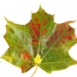 Very large and very small maple leaves — Stock Photo