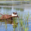 Staffordshire terrier swimming in the river — Stock fotografie