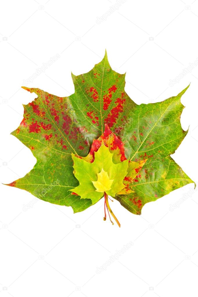 Bunch of autumn maple leaves isolated on white   Stock Photo #13504892