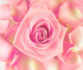 Head of rose, vintage style — Stock Photo