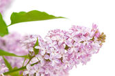 Lilac with green leaves — Stock Photo