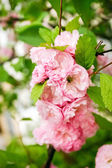 Blossoming branch pink sakura — Stock Photo