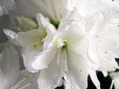 Beautiful flowers of azalea — Stock Photo