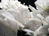 Flowers of rhododendron with dew — Stock Photo