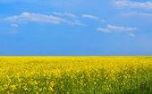 Champ de colza de floraison, style minimalisme — Photo