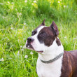 Staffordshire terrier on meadow — Stock Photo #27949049