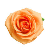 Head of orange rose — Stock Photo