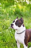 Staffordshire terrier on a meadow — Stock Photo