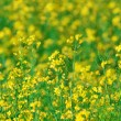 Summer background: blooming canola — Stock Photo