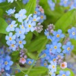 Background of delicate flowers forget-me-not — Stock Photo