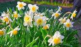 Spring time: lush blooming daffodils — Stock Photo