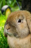Retrato de conejo — Foto de Stock