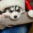 Siberian Husky puppy on hands — Stock Photo